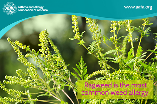 Ragweed is the most common weed allergy